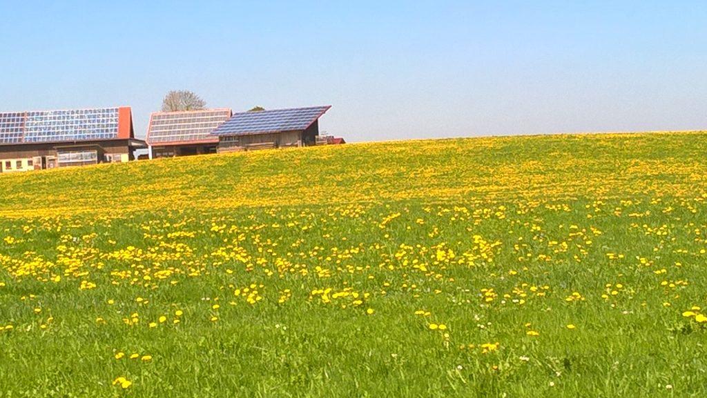 Löwenzahnwiesen allerorten im Unterallgäu. Der Frühling grüßt  mit Sonne und blauem Himmel.