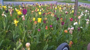 Die Tulpen von Allensbach, auf meiner Rückfahrt nach Konstanz mit dem reparierten Rad entdeckt